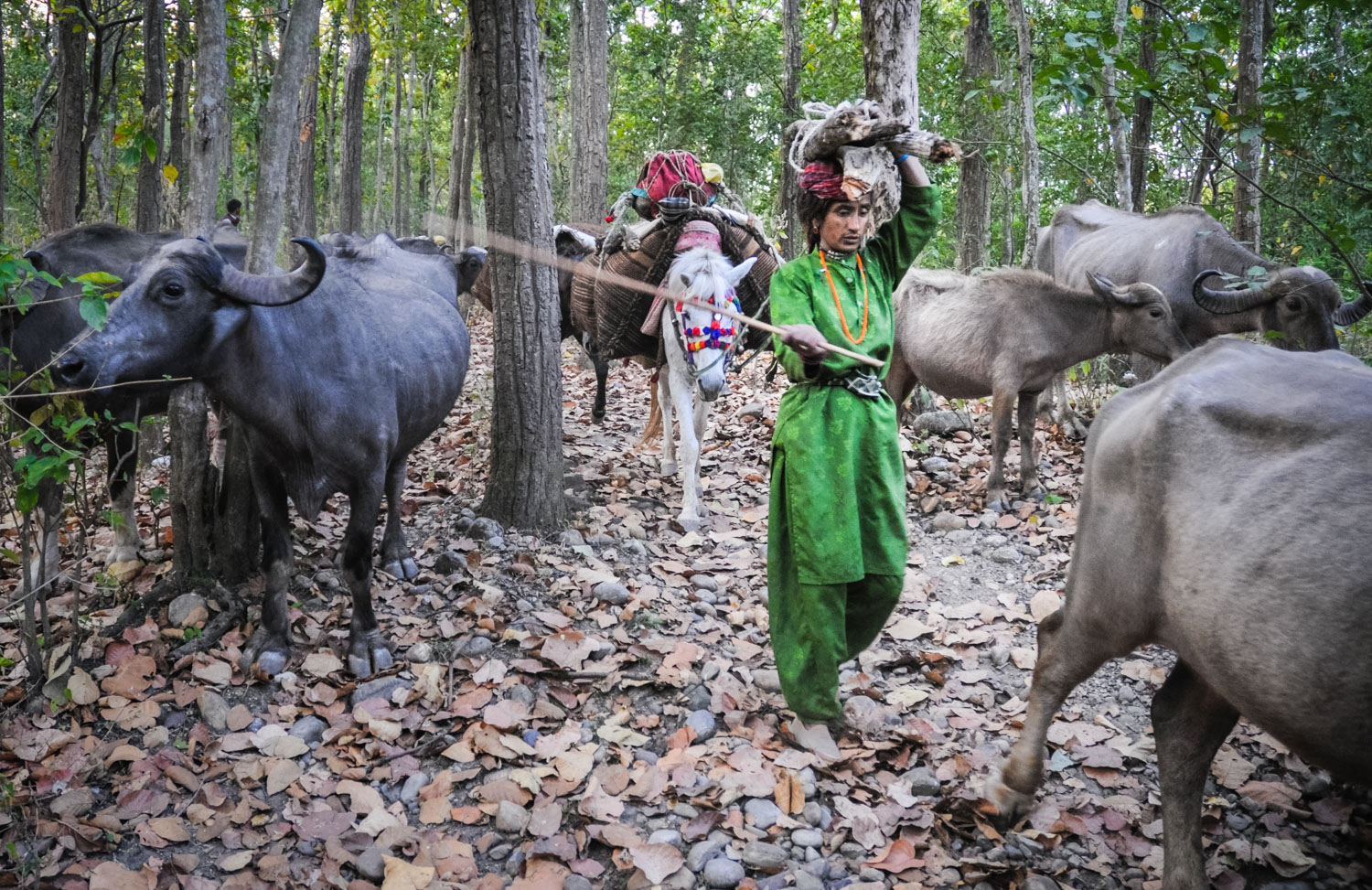 Jamila leads a pack horse, herds buffaloes, and carries firewood...at the same time.