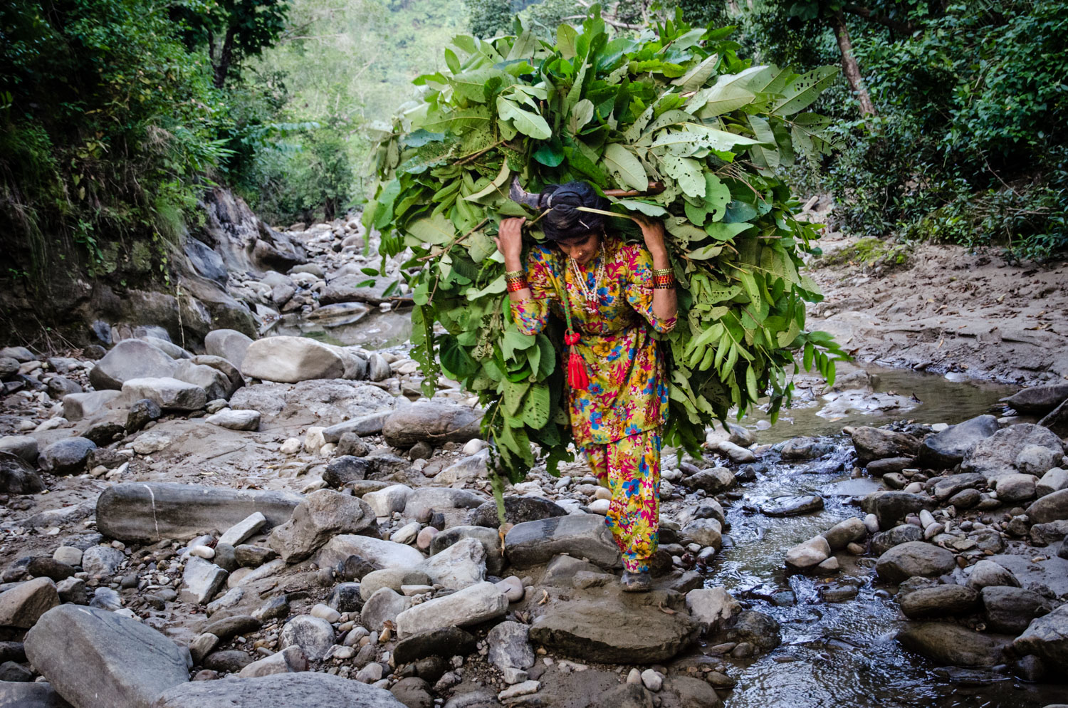 Bashi - in October, 2012, hence the water and greenery - hauling leaves through the Shivaliks for her family's calves.