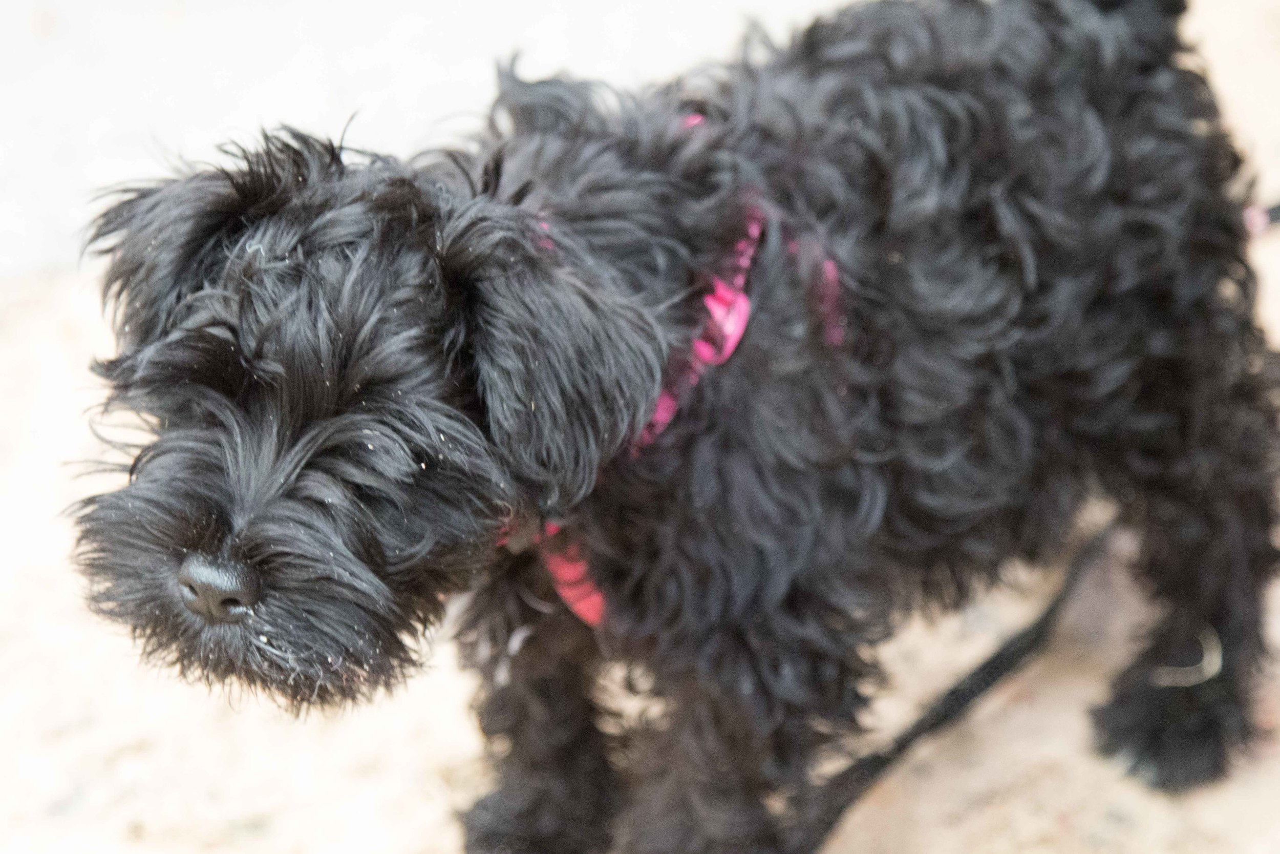Dahlia, a Miniature Schnauzer spent the week on our 2015 course with us.