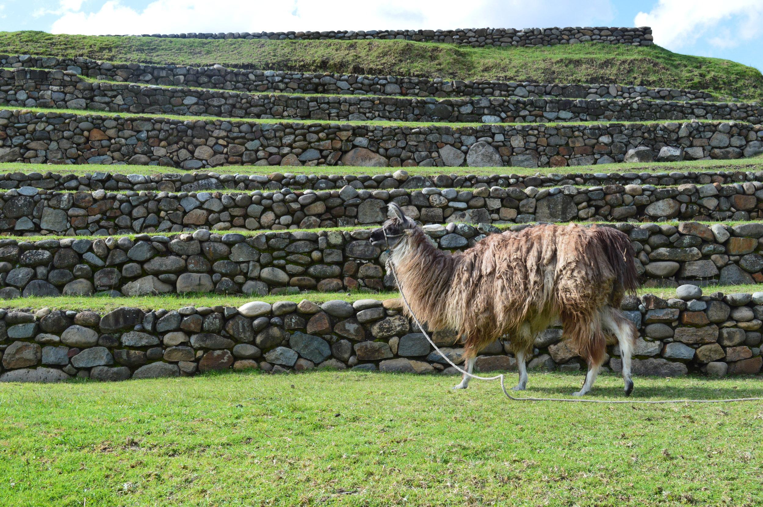 Ecuador High Res Alpaca Animal Landscape.JPG