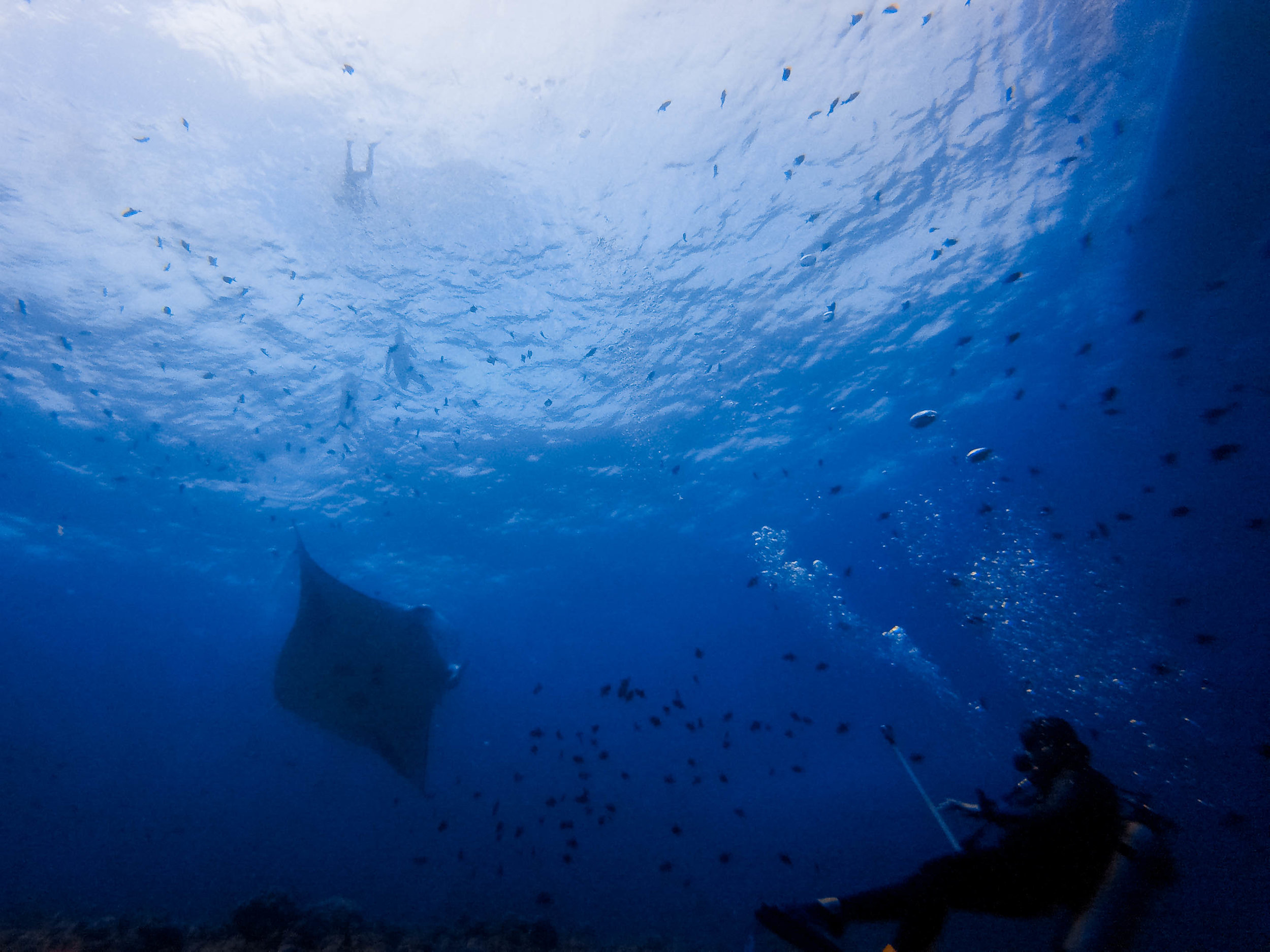some snorkelers above the manta ray.