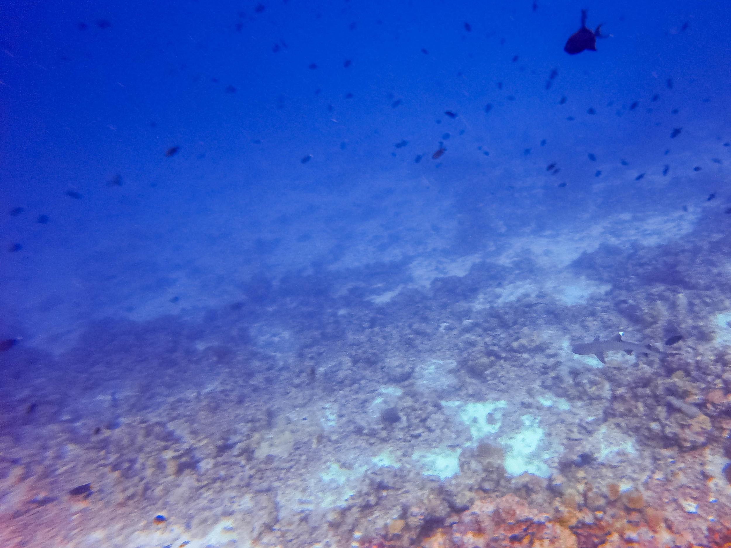 white tip reef shark.