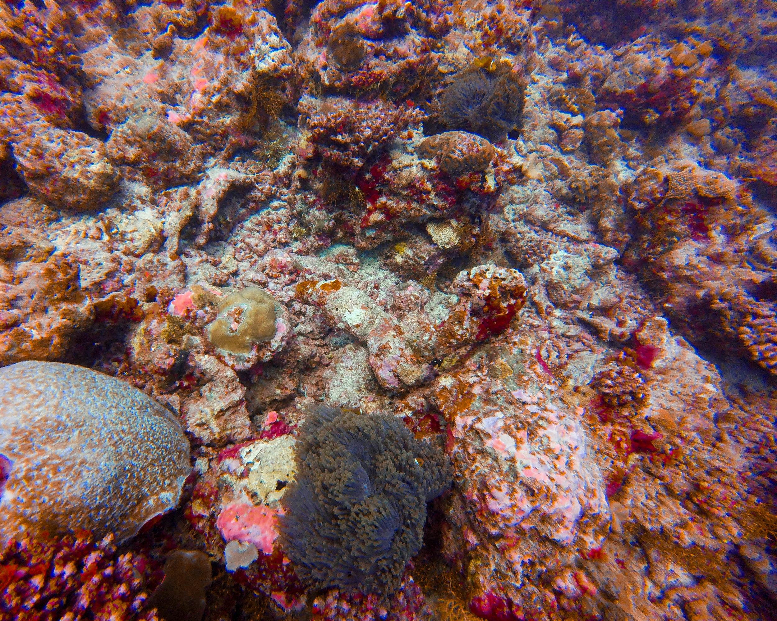 clownfish hiding in sea anemone.