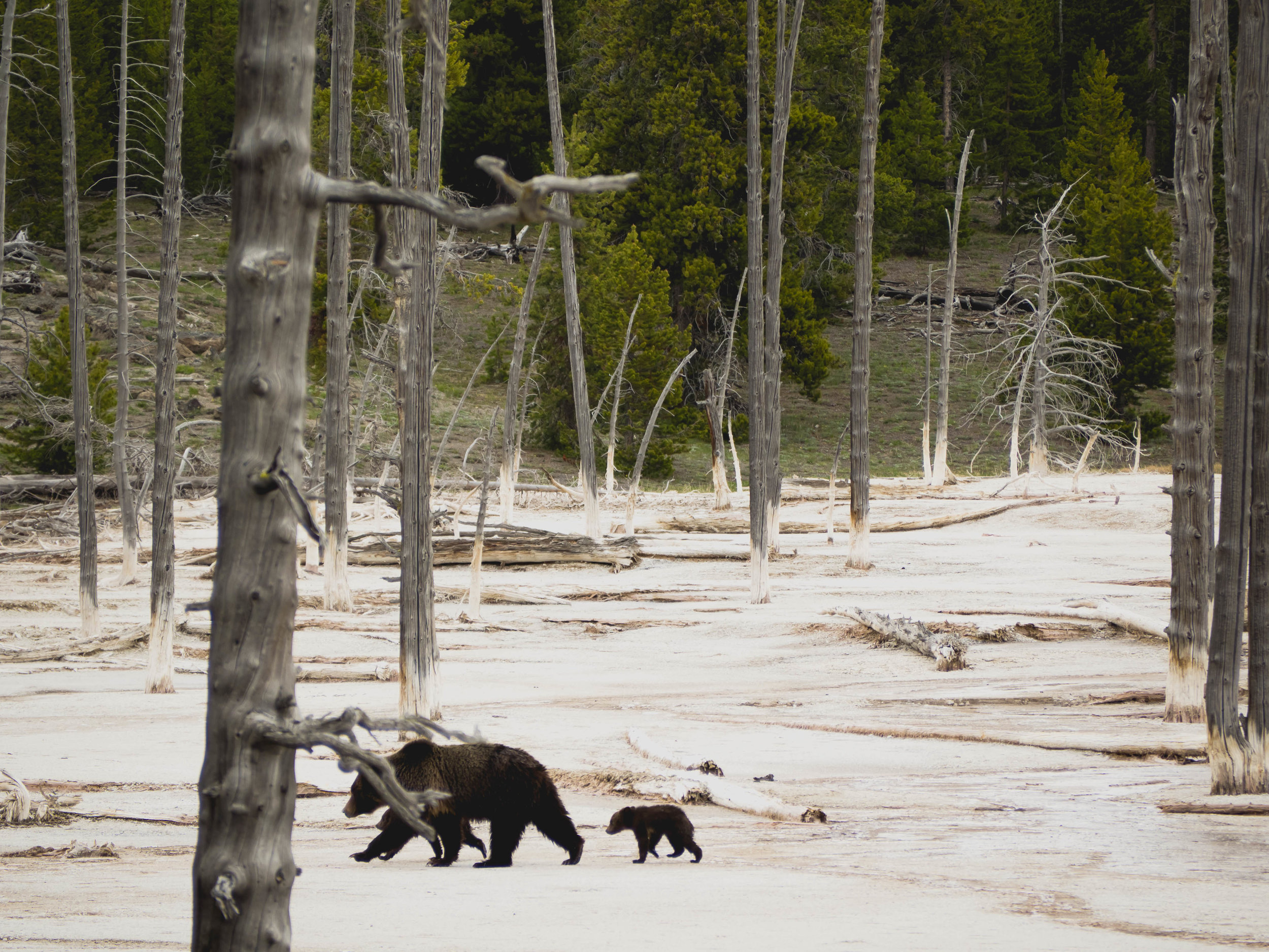 mama grizzly and two cubs.