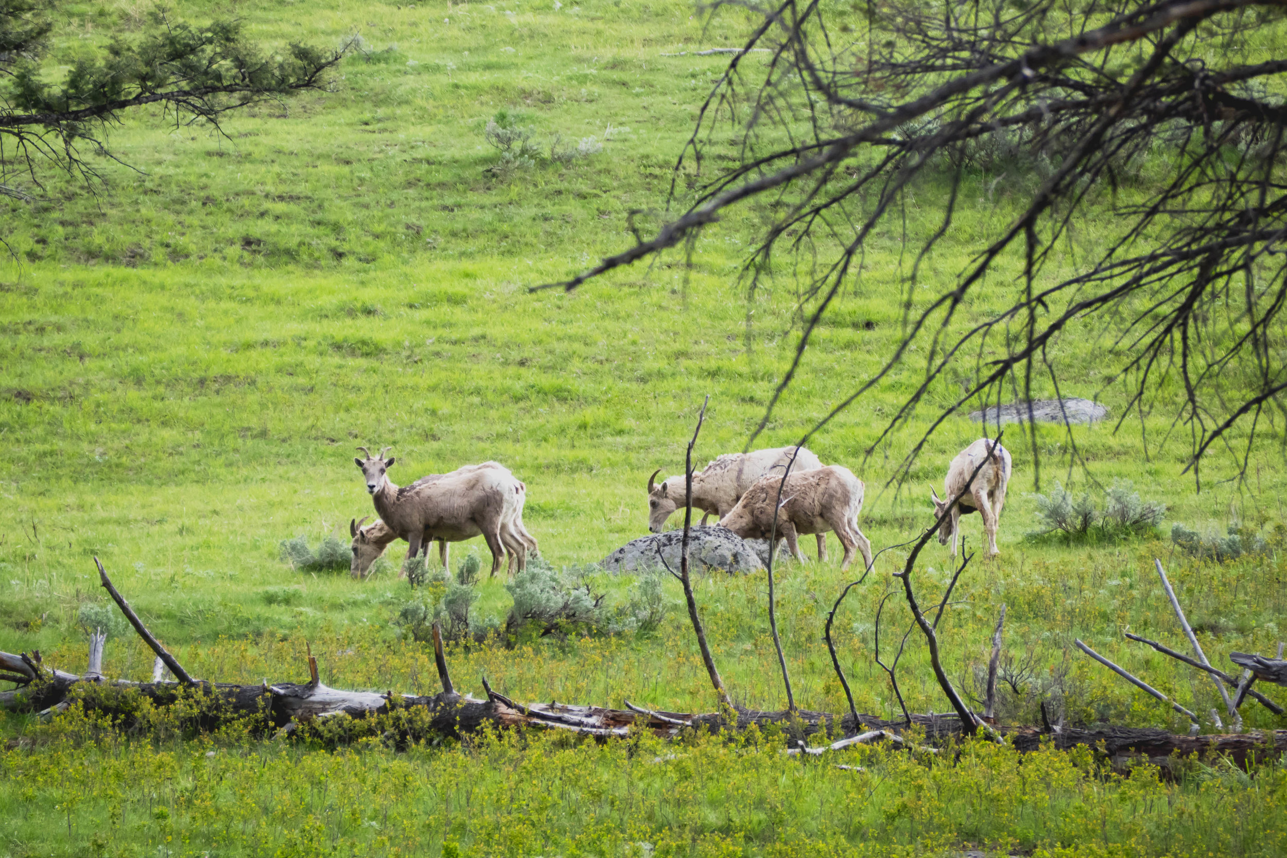 big horned sheep.