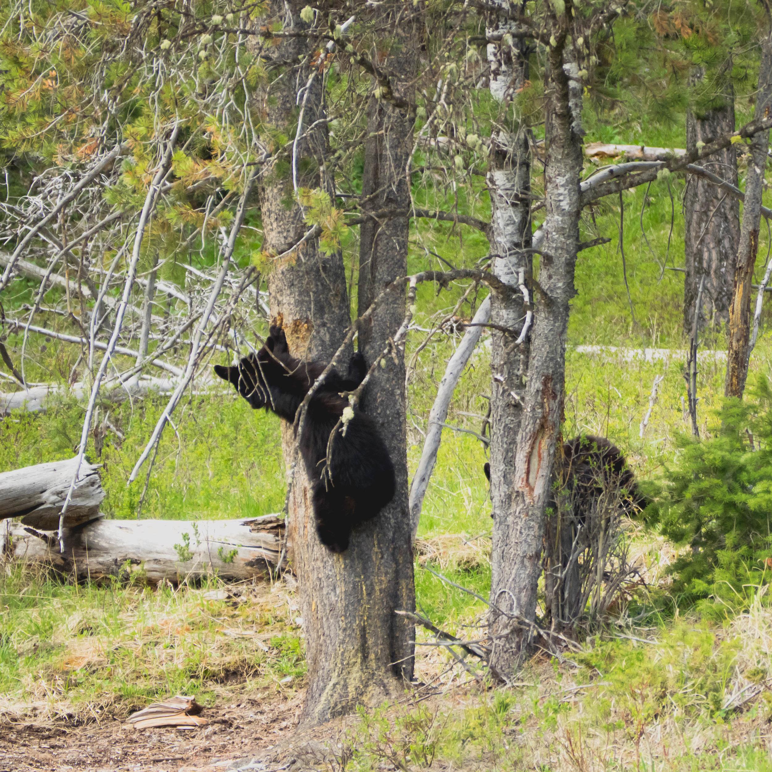 yellowstone-wildlife-safari-126.jpg