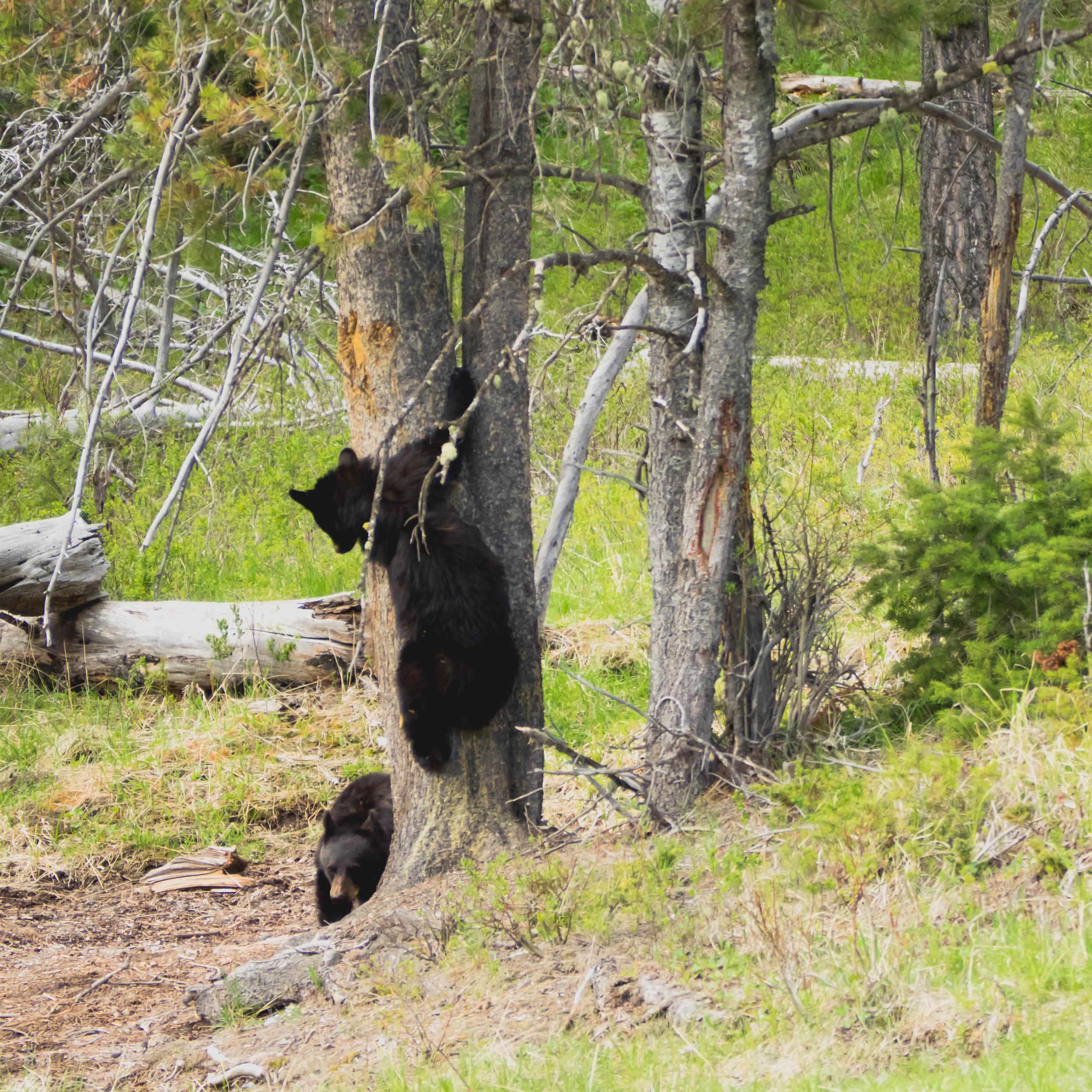 yellowstone-wildlife-safari-127.jpg