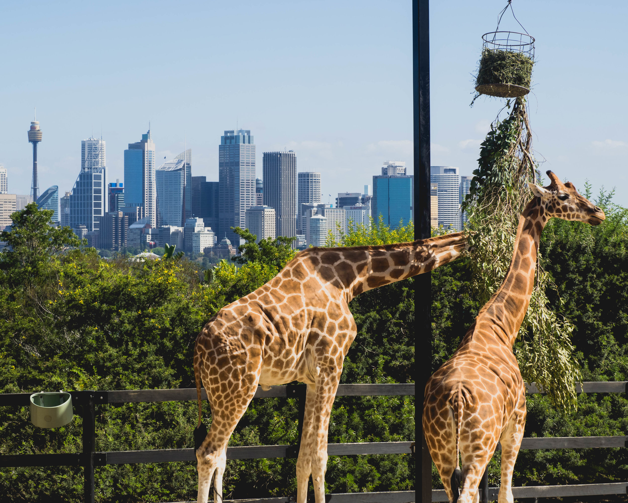 giraffes with a view.