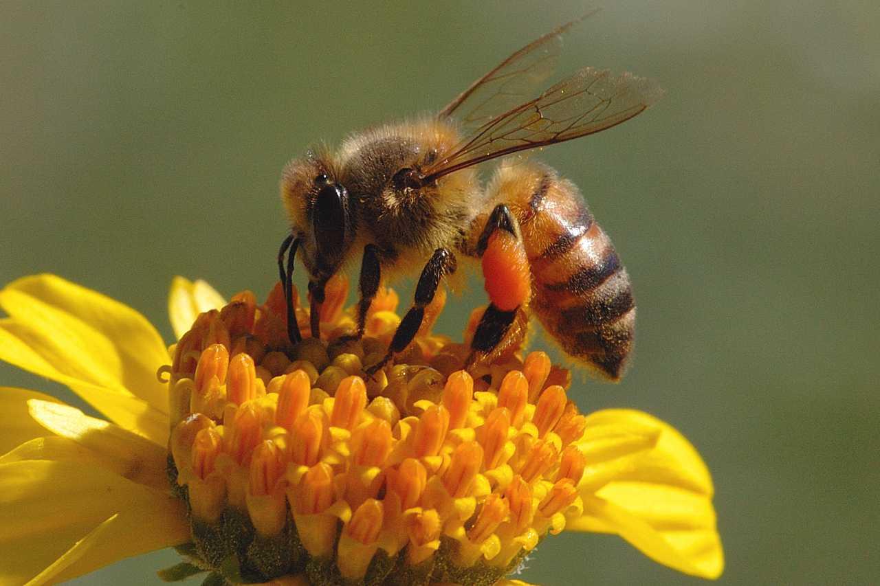 Honeybee collecting nectar.