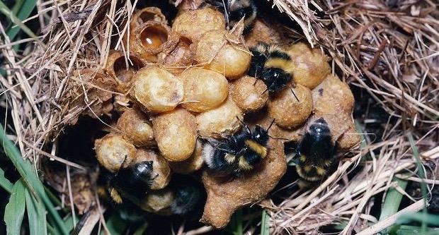 A bumblebee ground nest.
