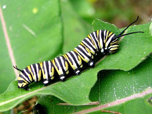 A monarch caterpillar munching on a milkweed leaf.