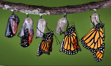 The monarch finally emerges from the chrysalis.