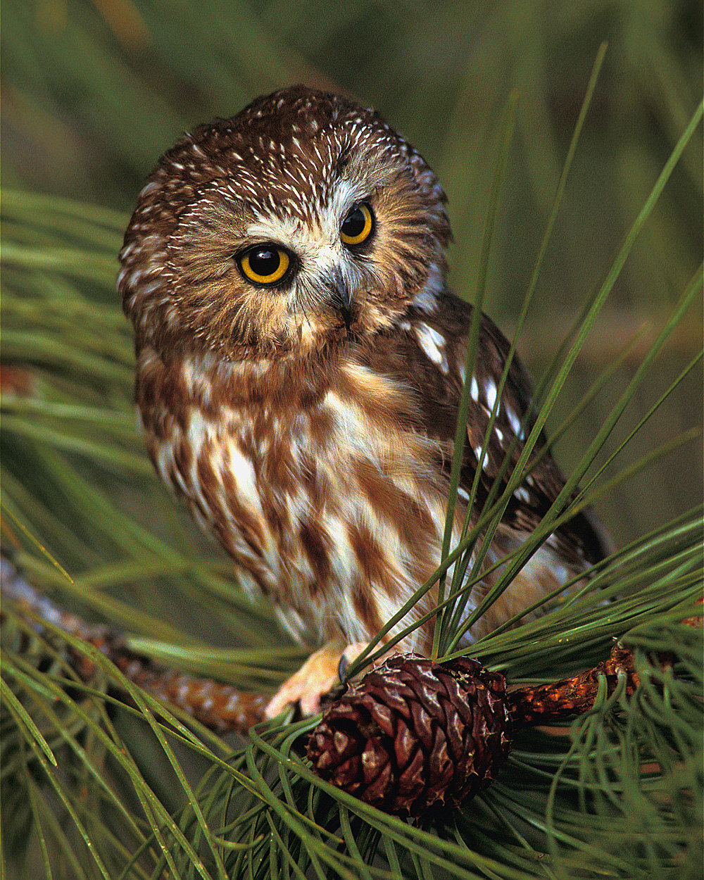 We'll listen for saw whet owls and barred owls.