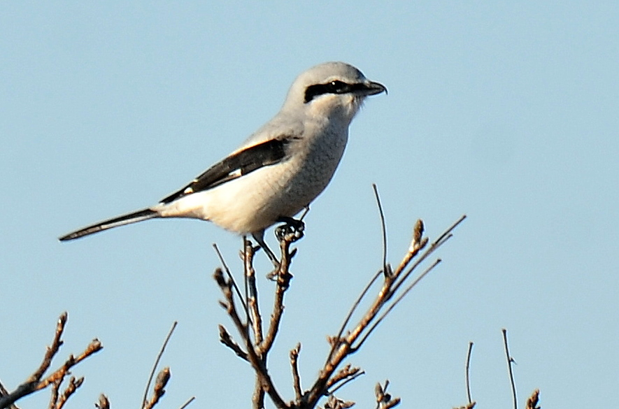 Northern shrike shreds prey with its hooked beak. Lacking talons, it's known to impale prey (like mice) on thorns or barbed wire fences.