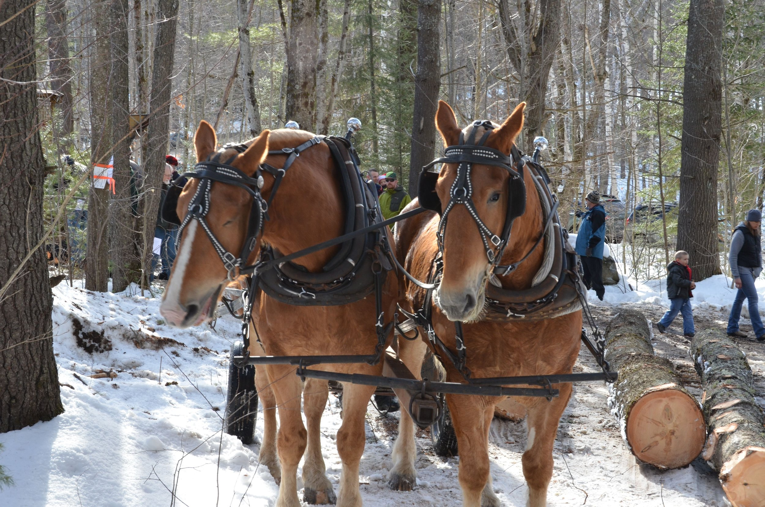 ACT demonstrated logging with horses as part of our winter 2014 timber harvest at the Foss Forest in Sugar Hill. The harvest was planned with birds in mind.