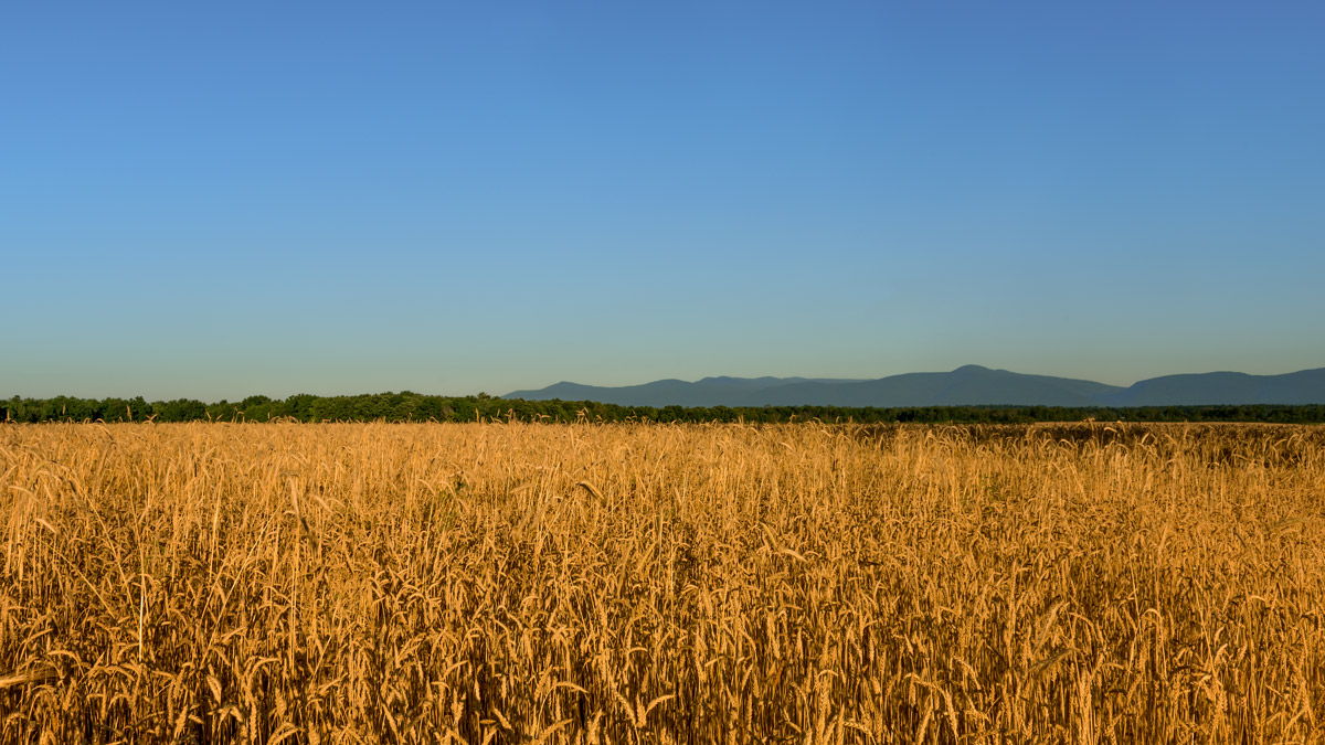 sunrise-grain-field--149A.jpg