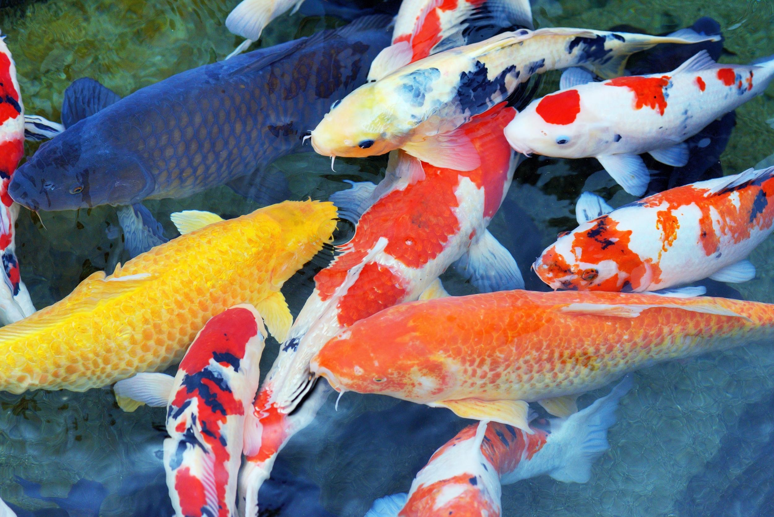 Beautiful Japanese Koi Fish