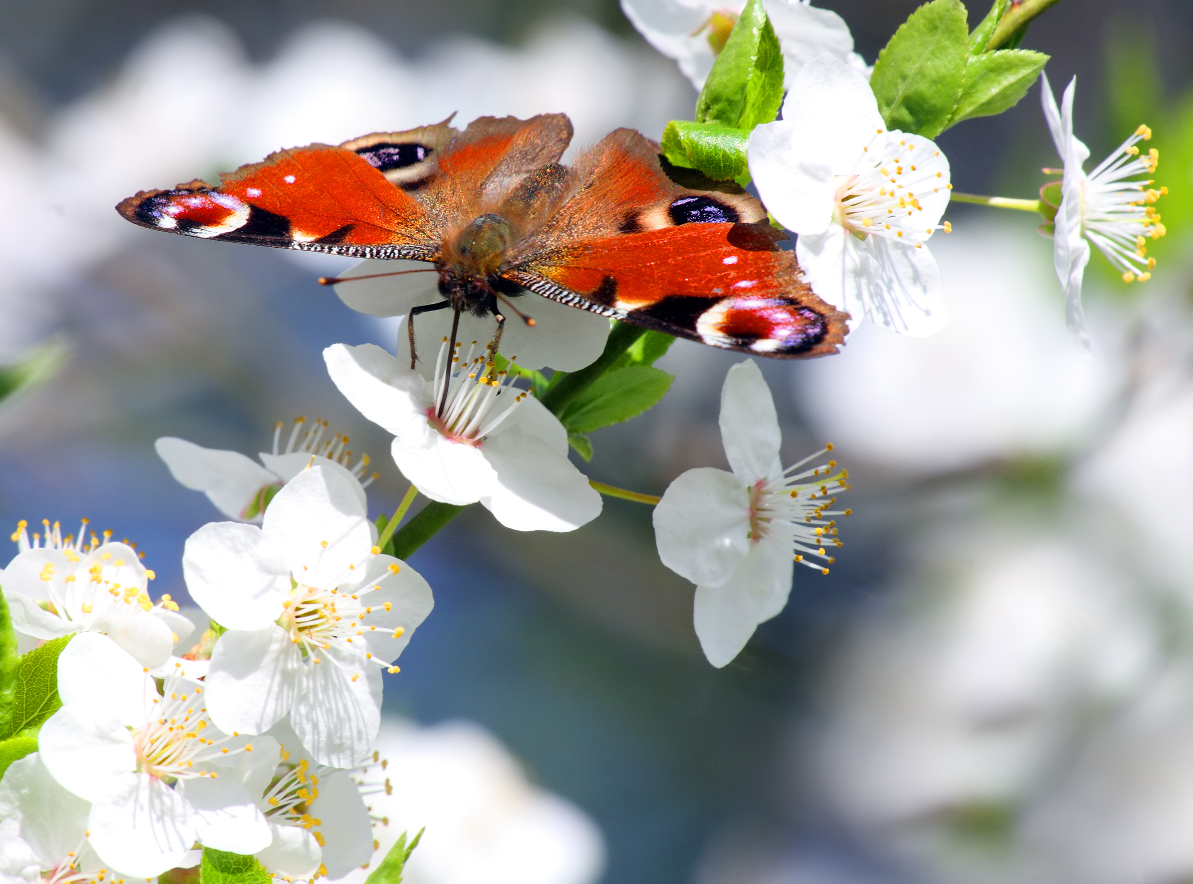 Peacock Butterfly on White Cherry