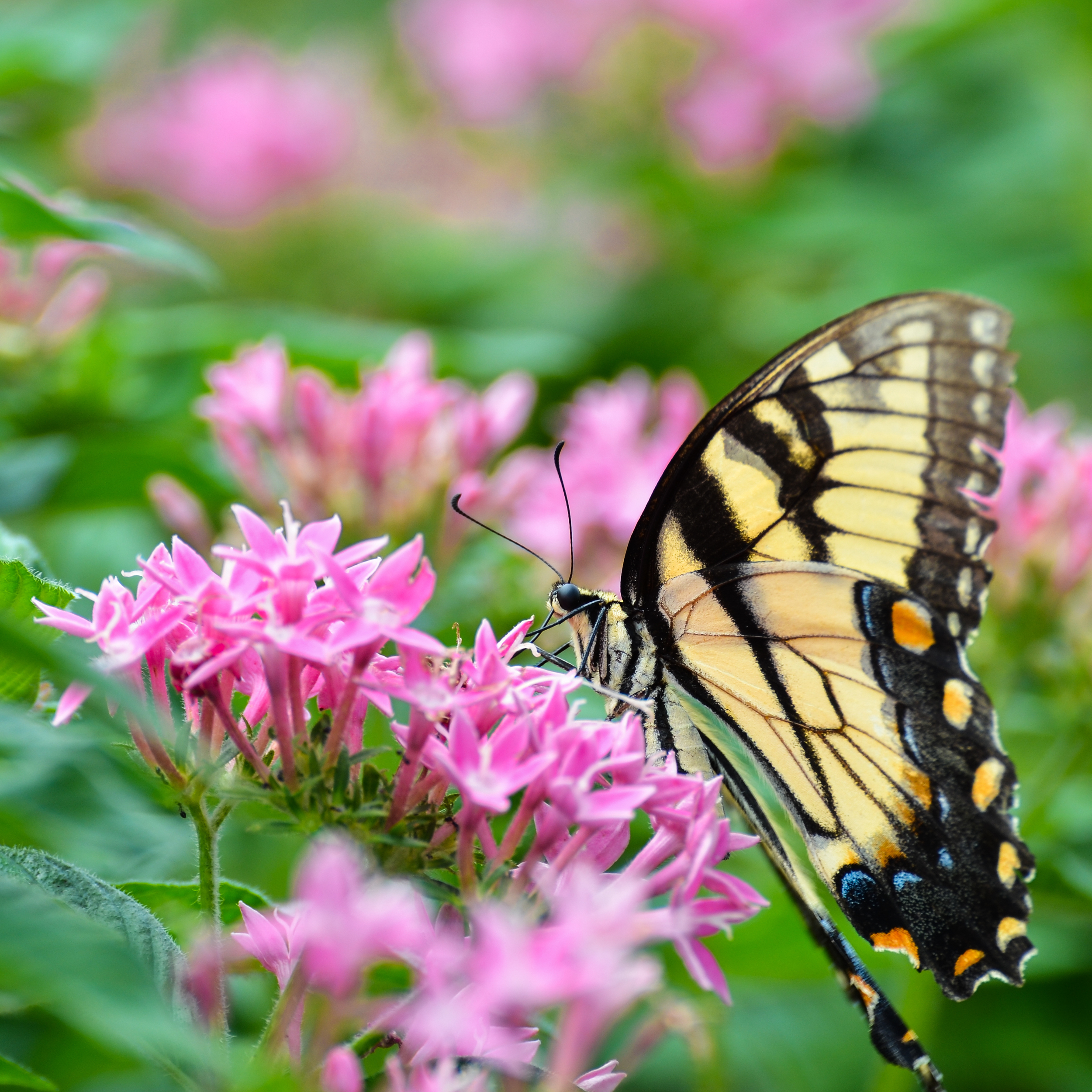 Colorful Butterfly on Pink Flower