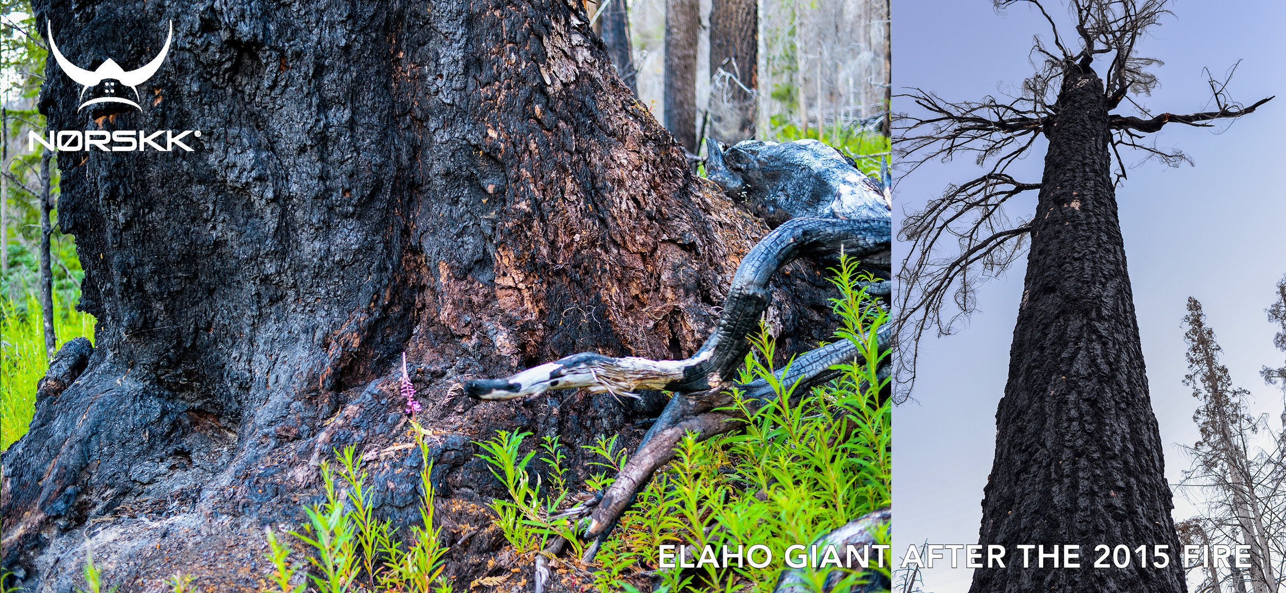 elaho-giant-after-fire.jpg