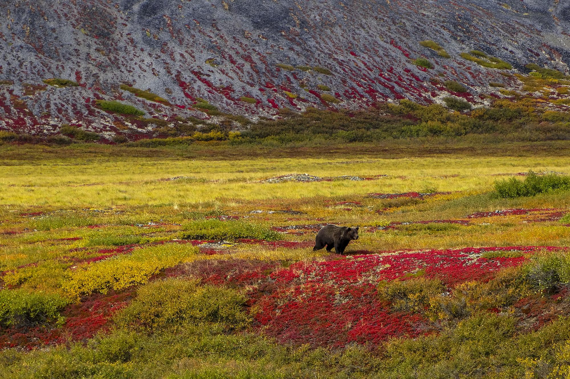 brown_bear_tundra.jpg