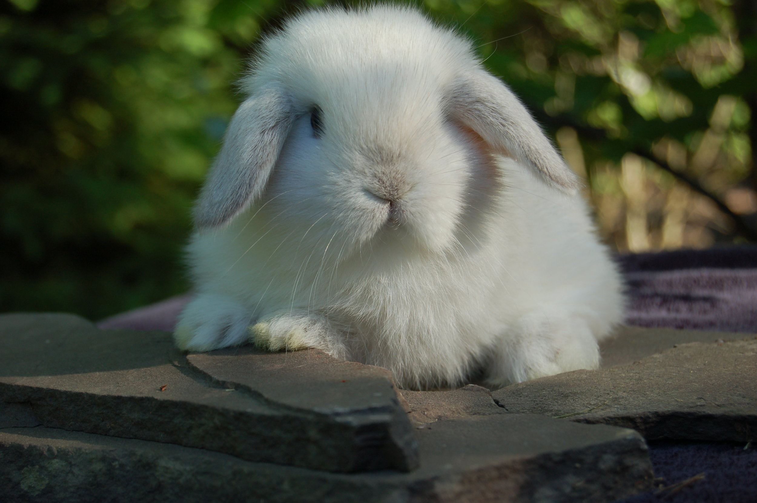 Holland Lop Color Guide Hickory Ridge Hollands