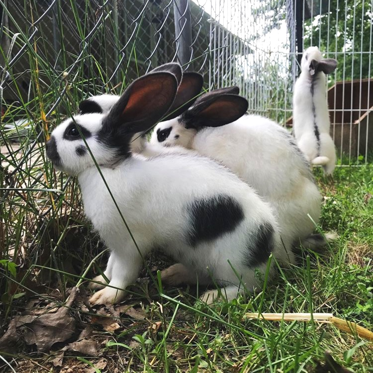 DG's Hops & Lops Rabbitry