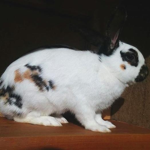 DG's Hops and Lops Rabbitry