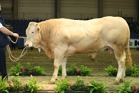 Yes... technically it's a Belgian blonde, namely a bull of the Blonde d'Aquitaine breed, but not quite the type of blonde I'm talking about...   Source:   en.wikipedia.org