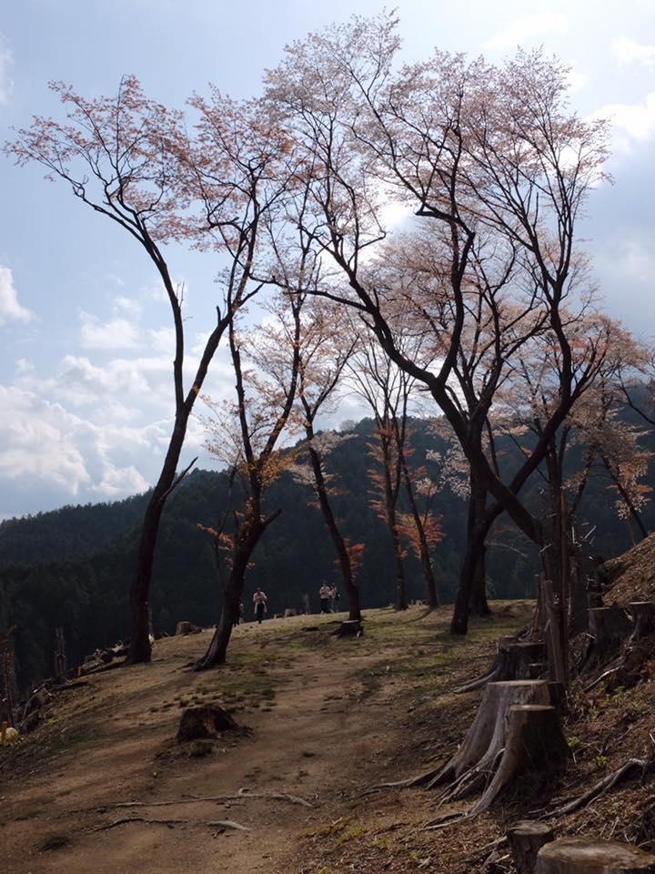 Last Grove of Sakura 2016.jpg