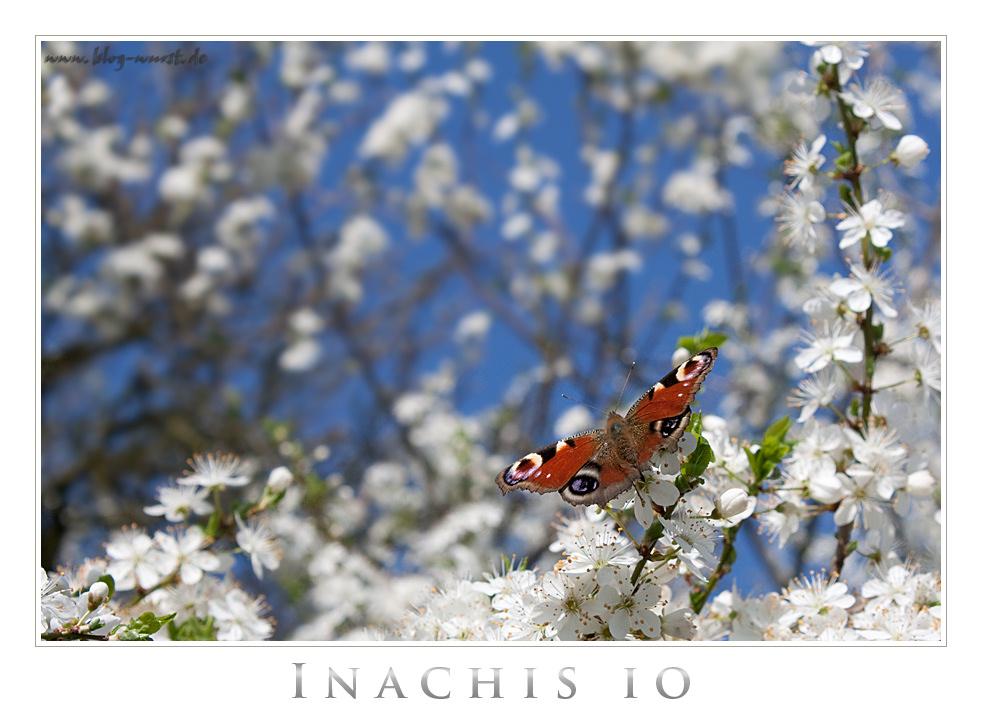 Inachis io (Tagpfauenauge)