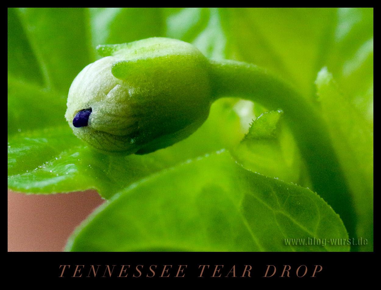 Die Knospe einer Chilipflanze