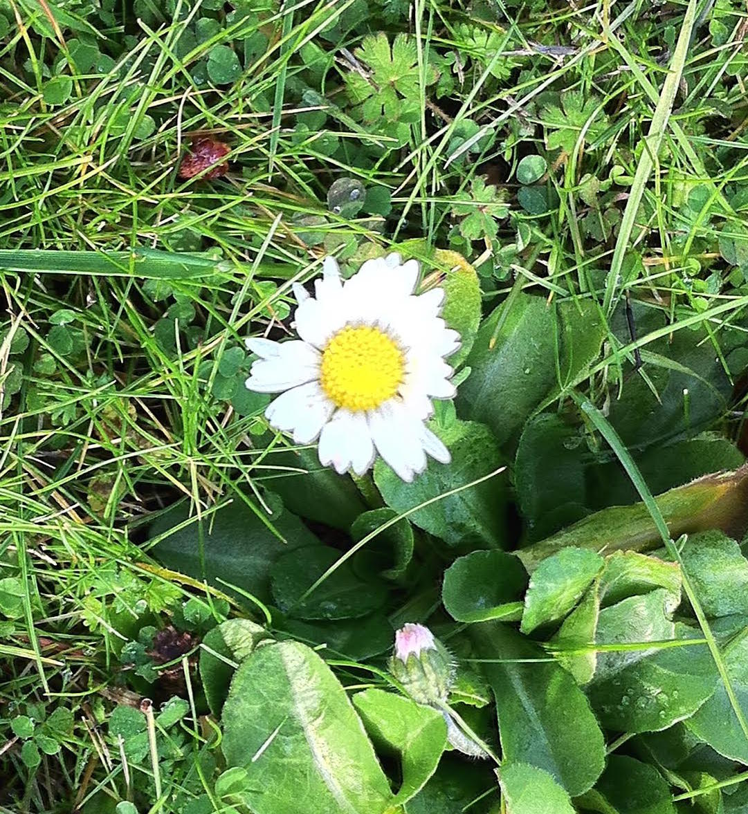 Daisy Flower crop.jpg