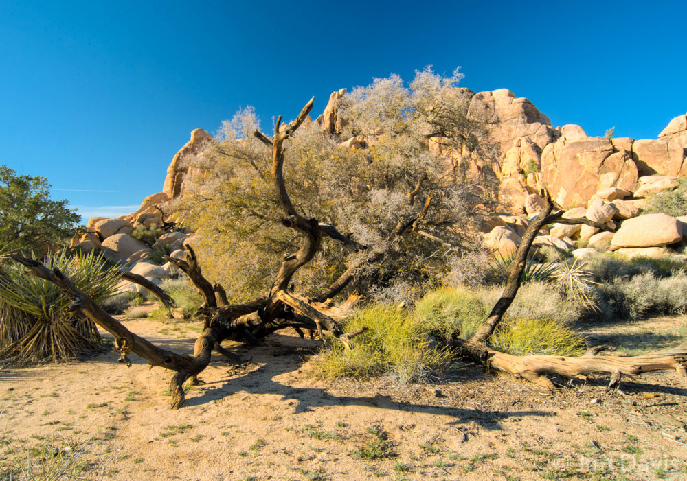 Joshua Tree -6334-38HDR