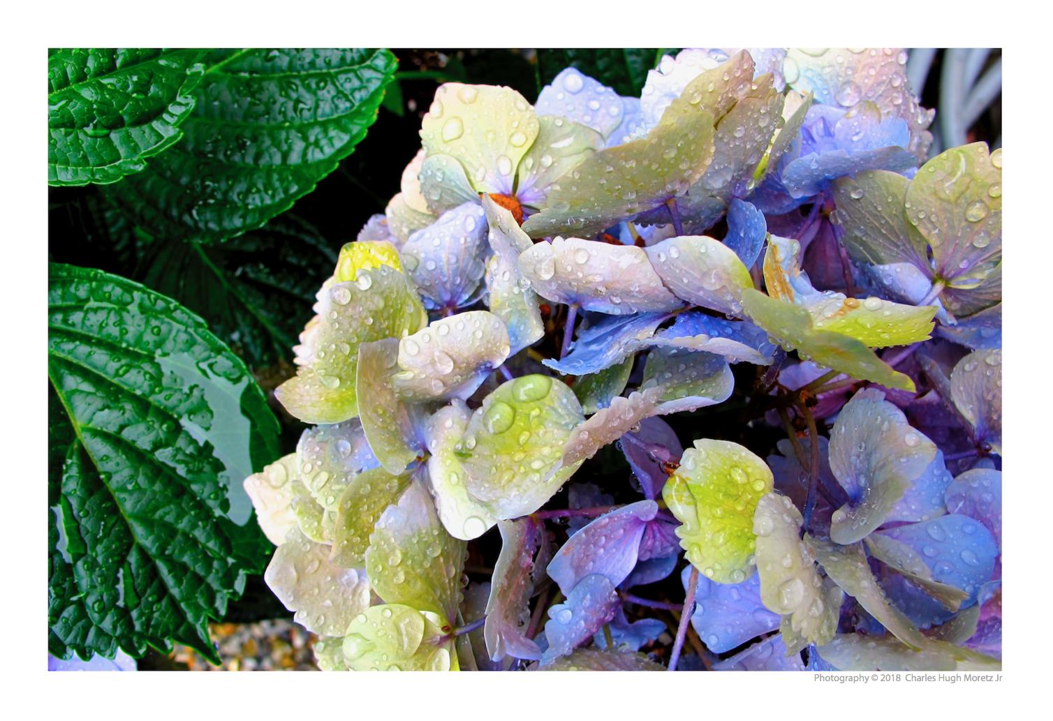 Hydrangea Raindrops