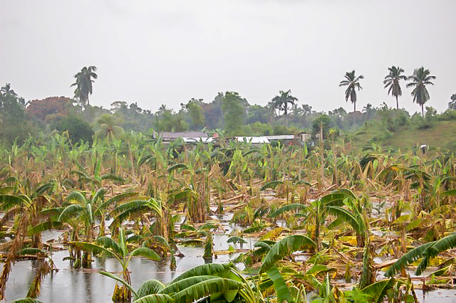 A field of banana trees in Leogane that has been flooded and destroyed by Hurricane Matthew.