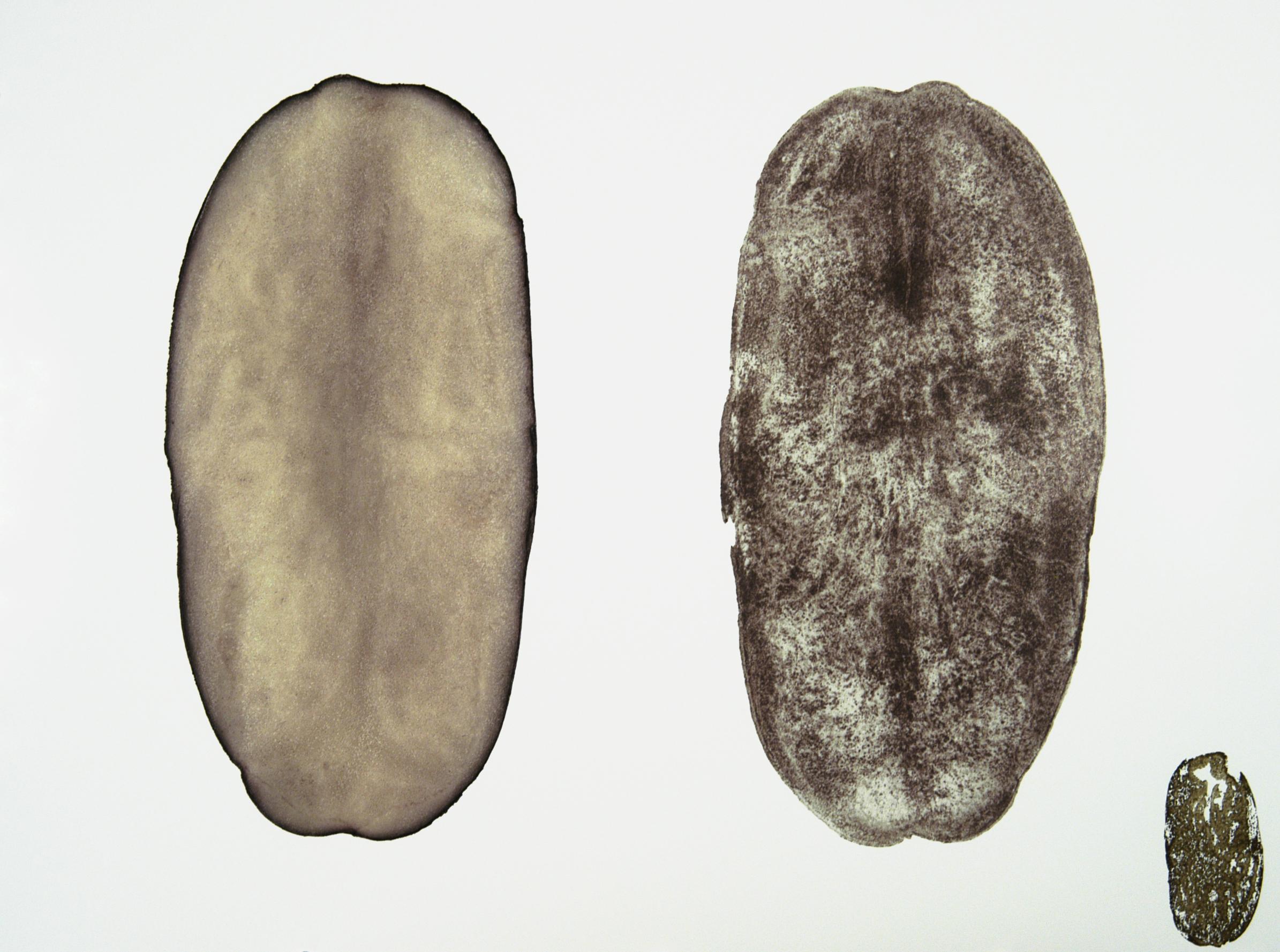 Potato Print (Russet I)