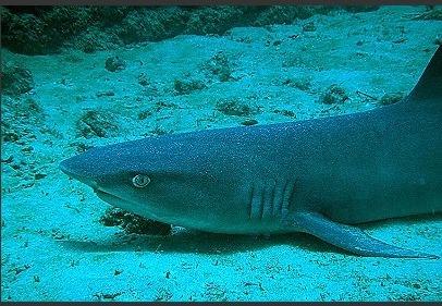 White-tipped Reef Shark