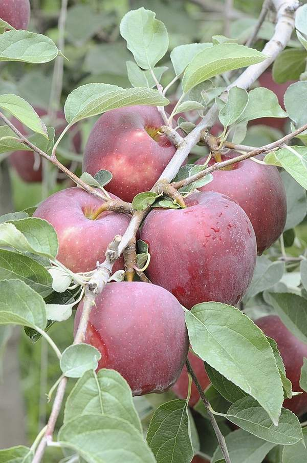 Courtesy of WSU/Bruce Barritt The new Washington State University apple, called Cosmic Crisp, is shown growing on a tree. The university has chosen the first growers for the new apple.