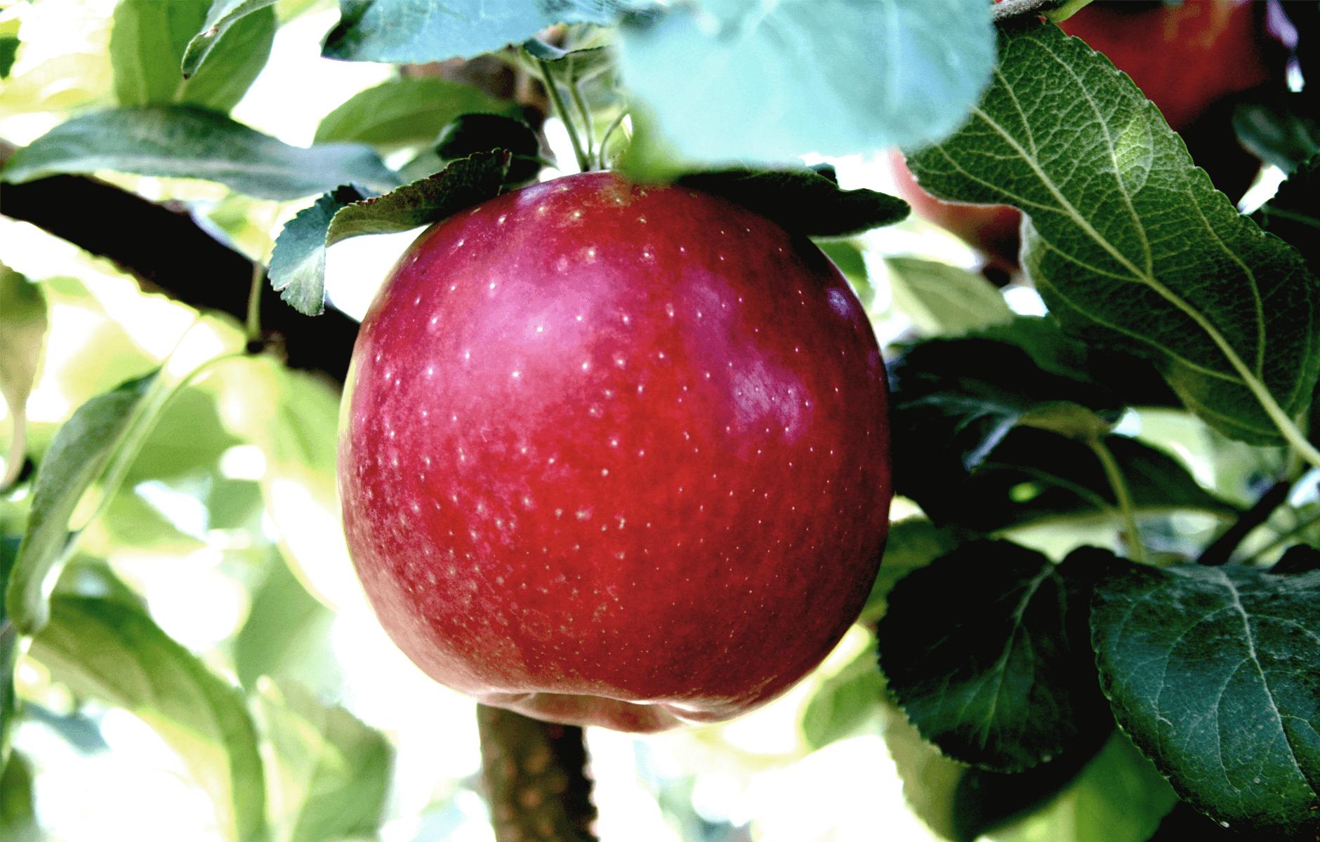 CosmicCrisp-Tree_Apple-1.png