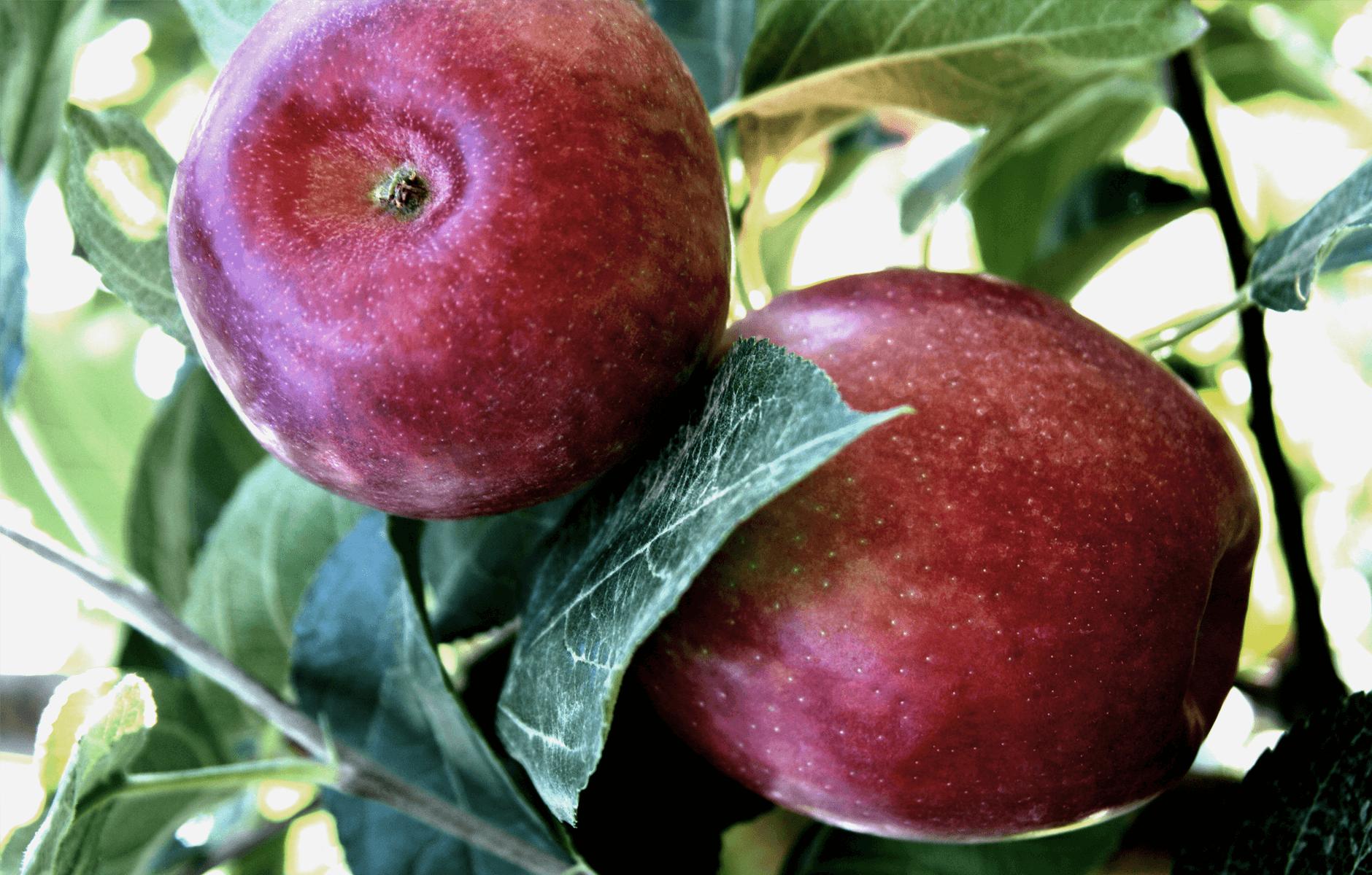 CosmicCrisp-Tree_Apple-3.png