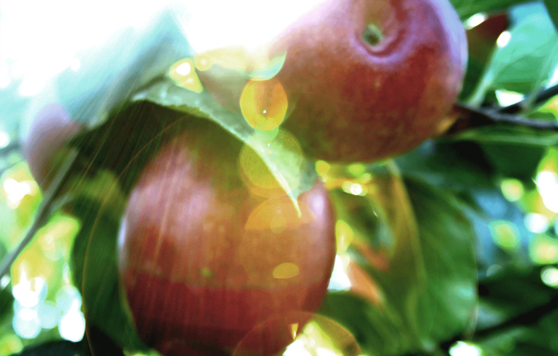 CosmicCrisp-Tree_Apple-4.png