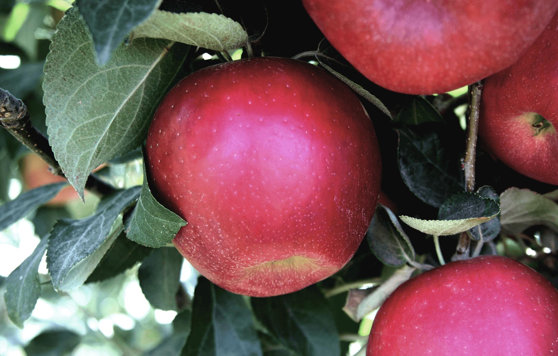 CosmicCrisp-Tree_Apple-6.png