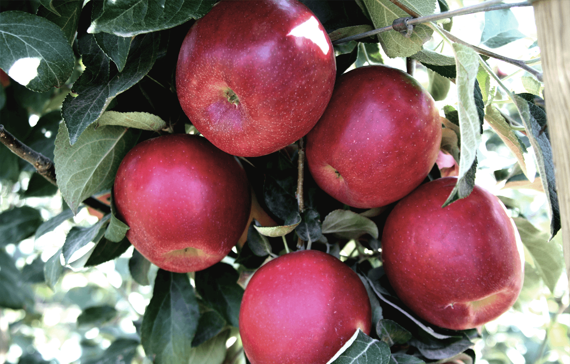 CosmicCrisp-Tree_Apple-5.png