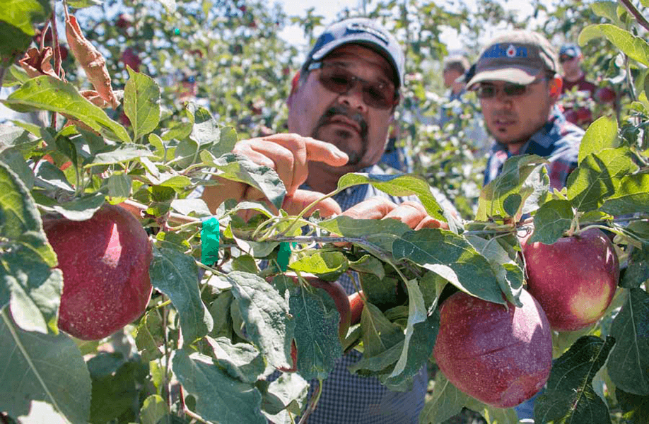 Antonio Quintana of Mt. Adams Orchards discusses the stem length of Cosmic Crisp apples with Juan Piñon of Wilson Irrigation during a field day at test blocks north of Prosser, Washington, in September. [Photo Courtesy of Ross Courtney, Good Fruit Grower]