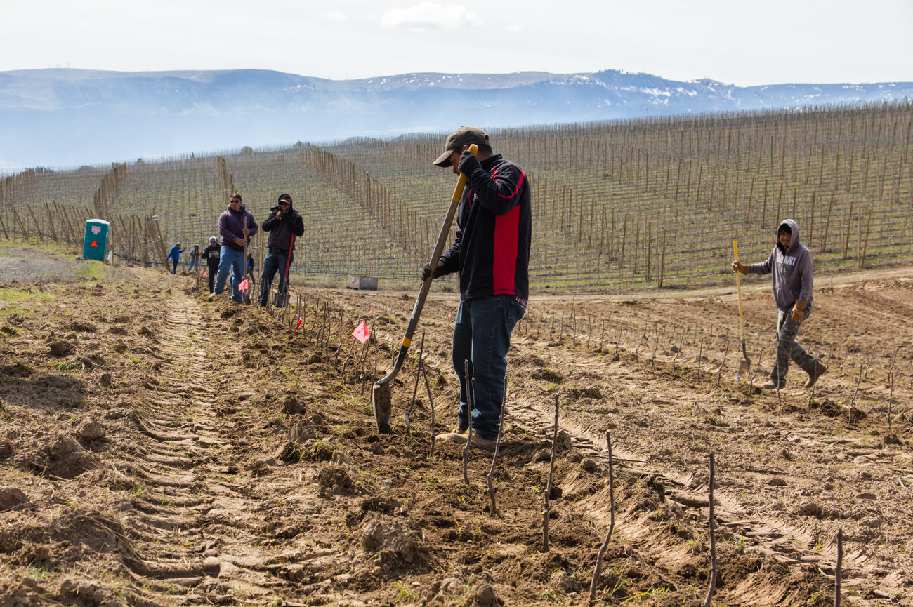 Workers and freshly planted Cosmic Crisp trees in an orchard owned by McDougall and Sons, near Wenatchee, WA. Photo by Dan Charles, NPR.
