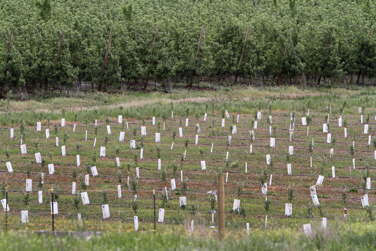 Recently planted apples trees cover a hillside along Payne Road in the Badger Pocket area, Tuesday, May 30, 2017. Photo by Brian Myrick, Daily Record.