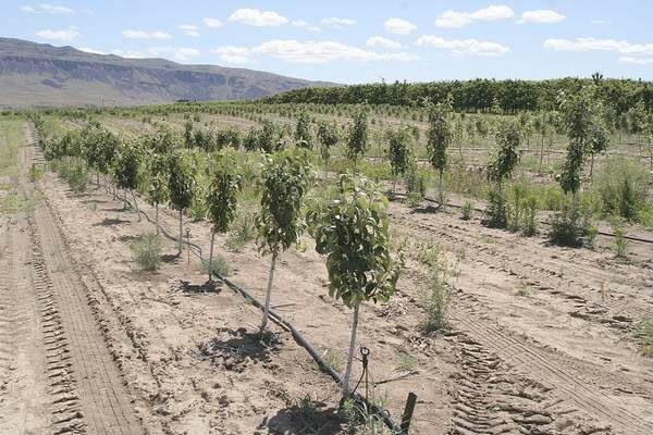 Cosmic Crisp™ brand trees near East Wenatchee, Wash., on June 9. These were planted a year ago by Van Well Nursery and are certified mother trees. Cuttings from them will be taken each fall for use in budding new Cosmic Crisp™ brand trees onto rootstock. Photo by Dan Wheat.