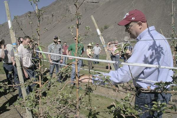 Stefano Mussachi, WSU tree fruit physiologist, shows growers a Cosmic Crisp apple tree in spindle tree style at the WSU Sunrise Research Orchard near Rock Island, Wash., in spring of 2016. Growers are keen on learning horticultural aspects of what the industry hopes will be a great new variety. (Photo by Dan Wheat,  Capital Press ).