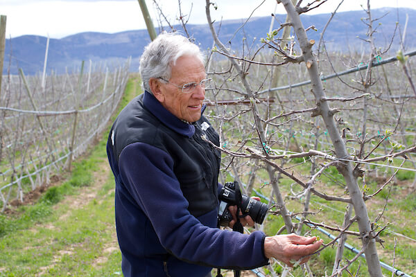 Bruce Barrit examines nursery trees in the McDougall & Sons Inc. orchards in Wenatchee, WA.